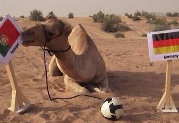 Camello adivino