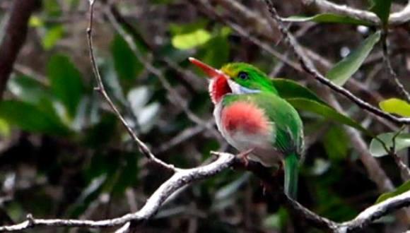 Cartacuba o Pedorrera (Todus multicolor). Es otra de las atractivas, hermosas, carismáticas y graciosas aves endémicas de Cuba. FOTO: Ismael Francisco Gonzalez Arceo.
