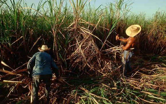 Corte de caña de azúcar Cuba
