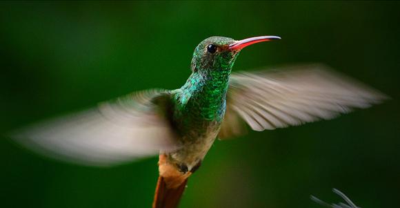 Victor Granado nos envía esta foto de un ave del Ecuador captada en el pleno vuelo en la reserva Buenaventura en El Oro