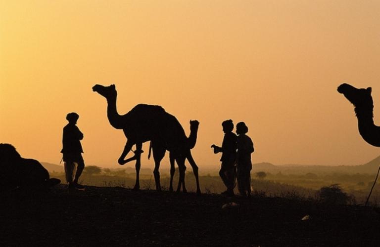camellos-de-pushkar-1631