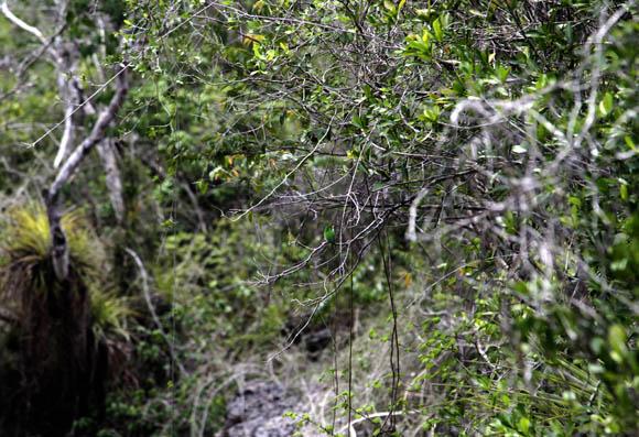 La vegetación del Guafe les bendice con una bien nutrida flora cuyas principales expresiones son el bosque y el matorral y que tienen en el jagüey, la carolina y el atractivo curujey, expresiones de una jungla siempre verde que abraza y reconforta al que lo visita. Foto: Ismael Francisco/Cubadebate.