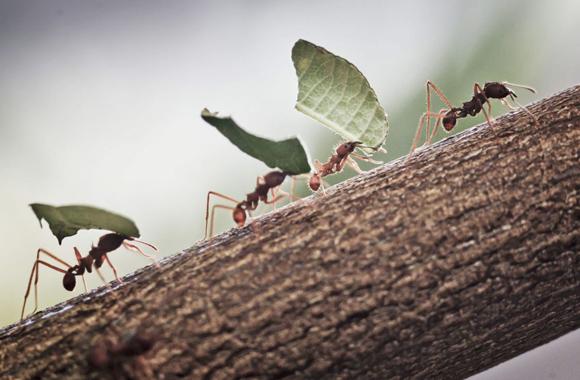 Unas hormigas transportan unos pequeños trozos de hoja en Alemania, 14 de febrero de 2014. Foto: FRANK RUMPENHORST (EFE/EPA)