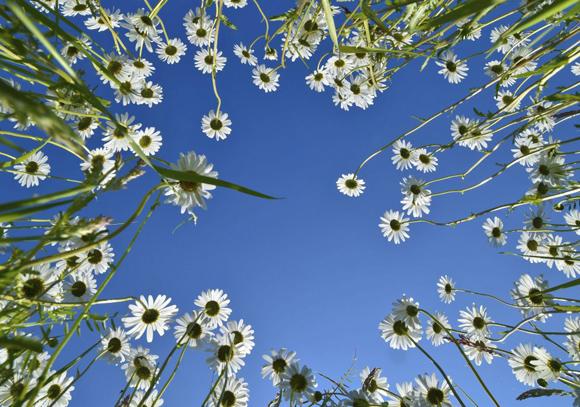 Flores bajo el cielo azul en una pradera cerca de Jacobsdorf, Alemania, el 20 de mayo de 2014. Foto: PATRICK PLEUL (EFE)