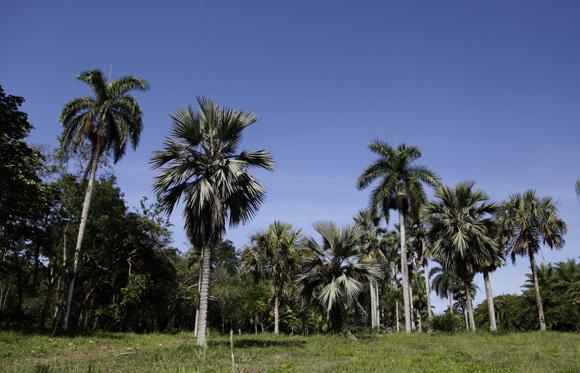 Vista panorámica del palmetum del JB de Cienfuegos. Foto: Ismael Francisco/Cubadebate.