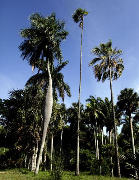 De izquierda a derecha, Acrocomia crispa (corojo cubano) y Heteropathe e lata (esta es la flaquita y la primera la barrigona). Foto: Ismael Francisco/Cubadebate.