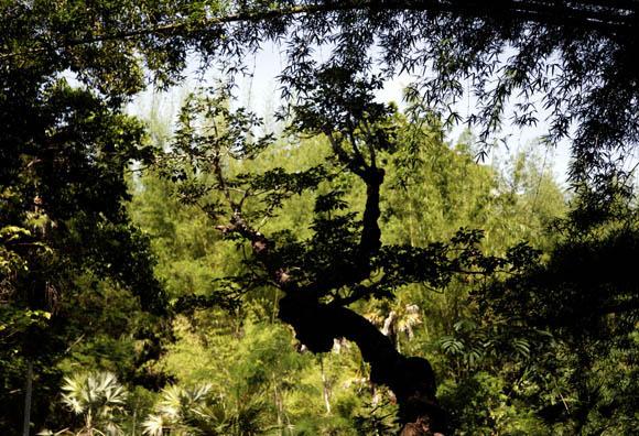 En primer plano árbol en forma de mujer, al fondo las Leucothrinax morrisi. Foto: Ismael Francisco/Cubadebate.