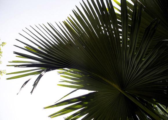 Detalle de la hoja de Corypha umbraculifera. Foto: Ismael Francisco/Cubadebate.