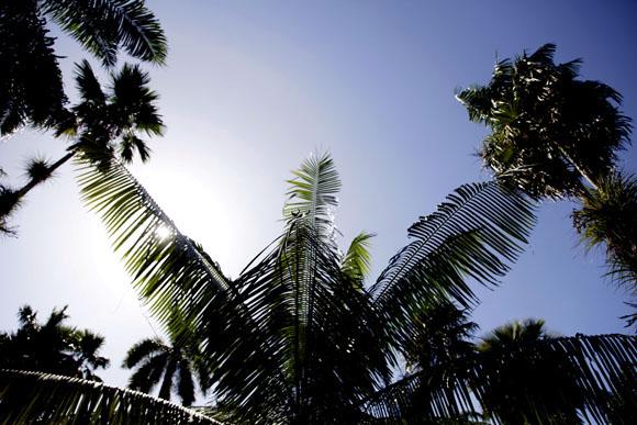Cuatro especies de palmas. Foto: Ismael Francisco/Cubadebate.