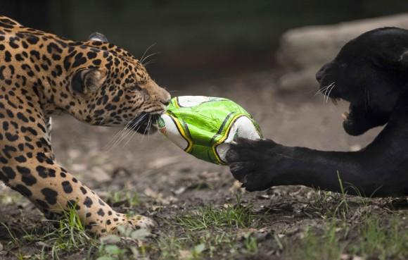 pantera y leopardo