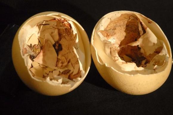 Cascarones de huevos de avestruz nacidos en cautiverio, mediante técnica de incubación doméstica, en la casa del ornitólogo Félix Rosales Almaguer, miembro de la Asociación Cubana de Producción Animal (ACPA), en la ciudad de Holguín, Cuba, el 3 de julio de 2014. AIN FOTO/Juan Pablo CARRERAS