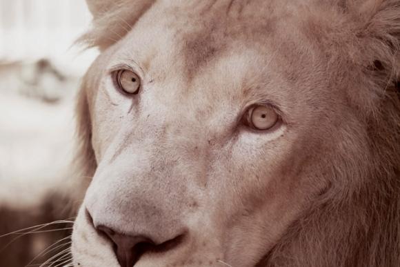 Serbo, el León blanco