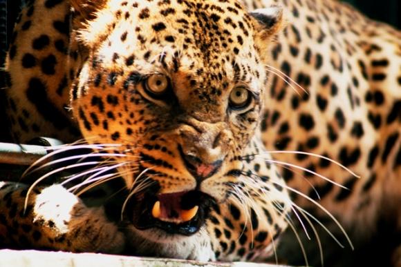 Hermosa e impactante vista del Jaguar.