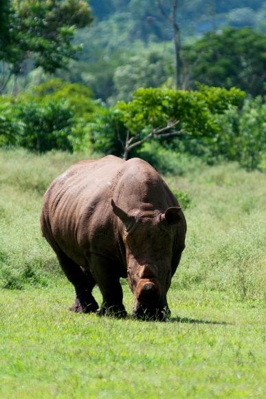 Rinoceronte, su embestida equivale a un camión en marcha.