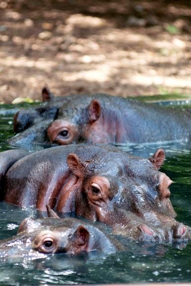 Hipopotamos con su cria dandose un baño.