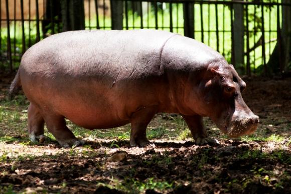 Hipopotamo.