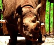 Rinoceronte.