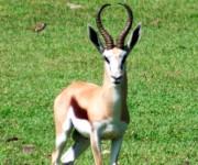 La gacela saltarina siempre alerta al menor movimiento.