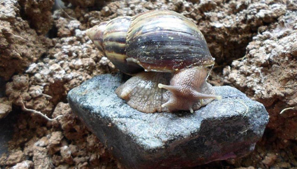 Cuban Scientist Calls for Fast Actions against Giant African Snail