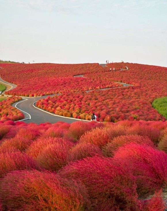 Hitachi-Seaside-Park-en-Japon
