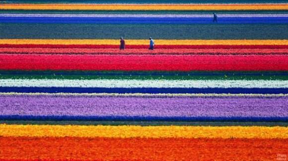 campos-de-tulipanes-de-Holanda