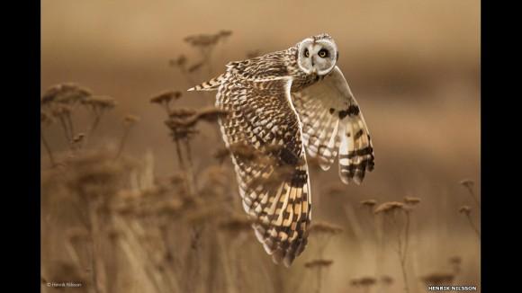 """La votación se cierra el 5 de septiembre de 2014. La imagen ganadora será revelada en octubre. Esta foto de una lechuza en pleno vuelo, titulada """"Shoulder check"""", fue tomada por Henrik Nilsson, de Canadá."""