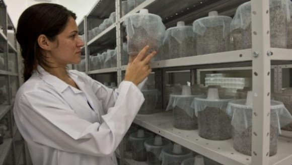 Una empresa inglesa cría en Brasil mosquitos transgénicos para combatir el dengue. Foto: Andes.
