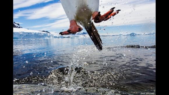 """""""En este histórico 15° año estamos abriendo la experiencia de juzgar a los muchos aficionados a la fotografía de la vida silvestre que siguen la competencia desde tan cerca"""", dijo Tom Ang, miembro del panel de 2014. En la foto: """"Leaping gentoo penguin"""" (Pingüino juanito saltando), de Paul Souders (Estados Unidos)"""