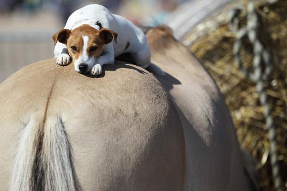 Este perrito reposo sobre el lomo de un caballo al norte de Francia. Foto: Charly Triballeu/AFP.