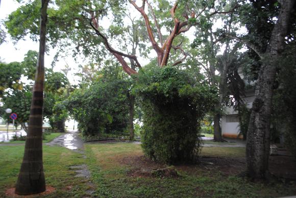 El ritual de bienvenida consiste en regar una planta de bambú, un baobab y una palma real. Foto: Paola Cabrera Rodríguez / Cubadebate