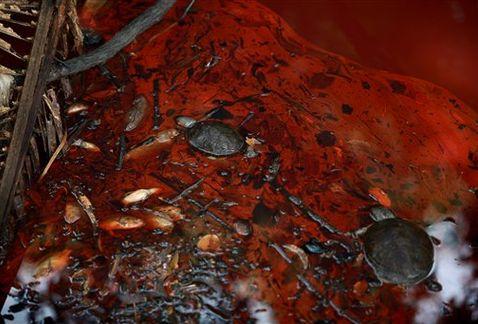 Algunos animales nadan en el río contaminado. Foto: AP.