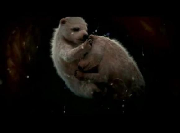 Los osos polares suelen parir un par de crías por camada, pesan aproximadamente 2kg al nacer y son completamente dependientes de su madre para sobrevivir. Lamentablemente el 60% de las crías fallecen antes de cumplir el año por culpa de problemas ambientales y depredadores.