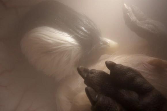 Los papás pingüinos protegen el huevo durante 42 días aproximadamente antes de que eclosione.