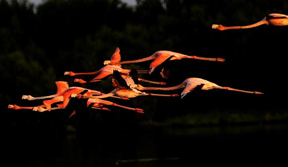 Flamencos del Caribe visitan ya el Refugio de Fauna Río Máximo