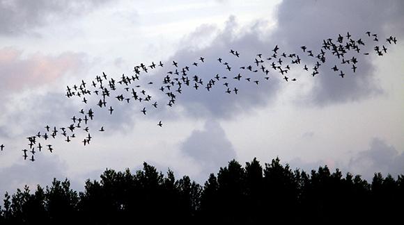 A partir de septiembre comienza la migración.  Foto: Ismael Francisco/ Cubadebate.