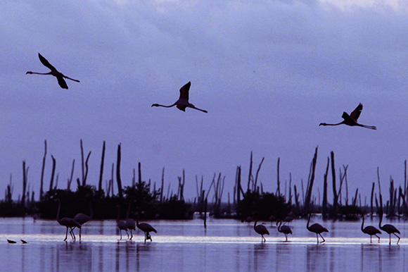 La desembocadura del río Máximo es idónea para que habiten allí los Flamencos de Caribe.  Foto: Ismael Francisco/ Cubadebate.