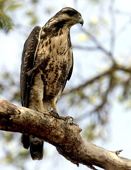 El Gavilán Batista es una especie endémica que visita esta área protegida F) Además del flamenco se observan en el sitio disímiles aves de variadas especies. Foto: Ismael Francisco/ Cubadebate.