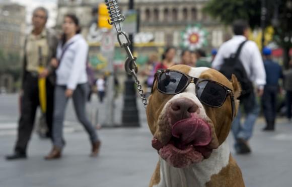 En el Día Mundial sin Coches en México éste can pasea con sus lentes de sol. Foto: AFP / Yuri Cortez