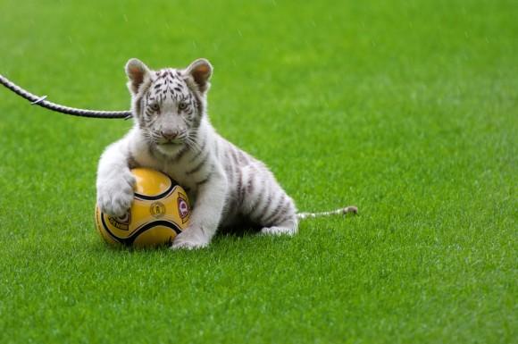 Un hermoso tigre blanco posa con su balón ante la cámara de su domador, Alemania. Foto: AFP / Arno Burgi