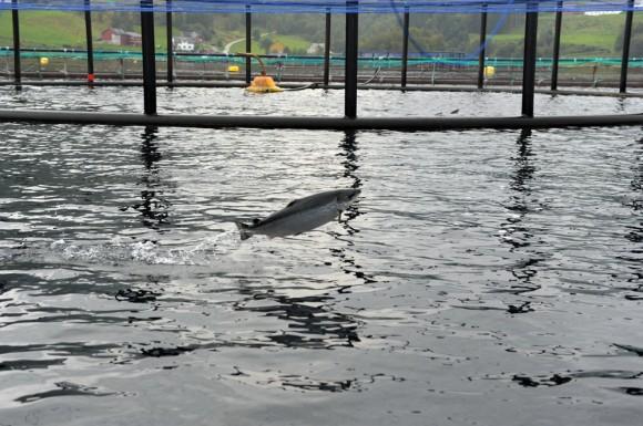 Un salmón salta en el criadero más grande de Noruega. Foto: AFP / Eric Piermont