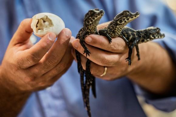 Samuel Martin, director del zoológico de Pierrelatte, enseña el cascarón de donde salieron los reptiles enanos africanos. Foto: AFP / Jeff Pachoud