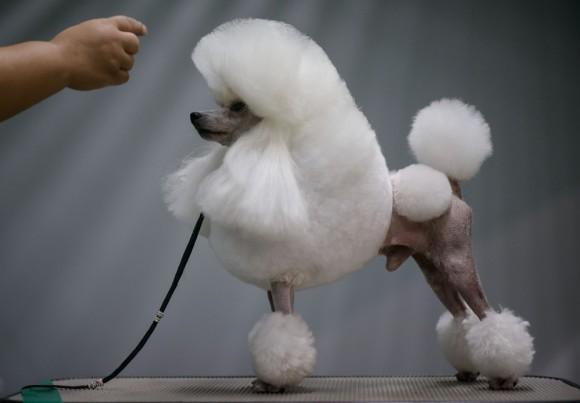 Foto: Un caniche es exhibido en una competencia de mascotas en Seúl. AFP / Ed Jones