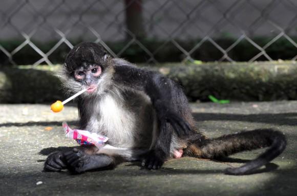"""Un mono """"dulcero"""" les demuestra a todos la sutil manera de disfrutar un dulce, zoológico El Picacho en Honduras. Foto: AFP / Orlando Sierra"""
