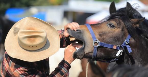 Foto: Un hombre revisa la boca de un caballo en el mercado de Havelberg para compararlo. AFP / Jeans Wolf