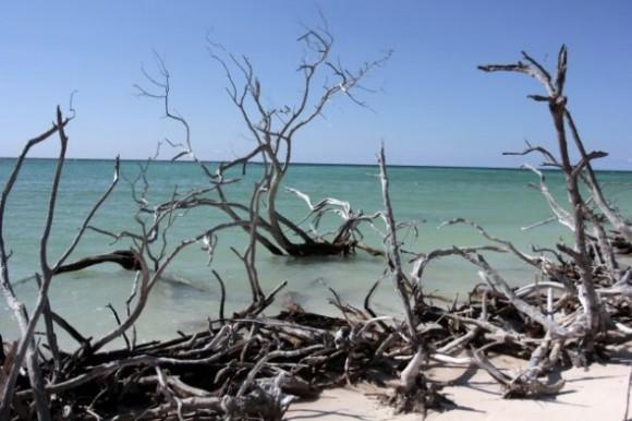 Buena parte de los manglares de Surgidero de Batabanó, en Mayabeque, están protegidos porque forman parte del Área de Refugio Animal Sur Batabanó. Sin embargo, siguen reportándose violaciones. Foto: IPS