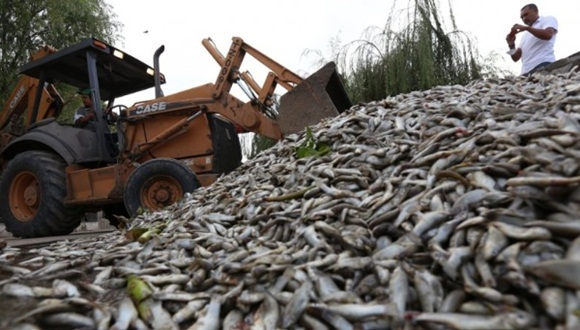 Extraen cerca de 50 toneladas de peces muertos en laguna mexicana. Foto: EFE).
