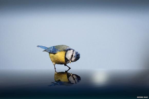 Un herrerillo común sobre el agua. Foto: Georg May / BBC Mundo.