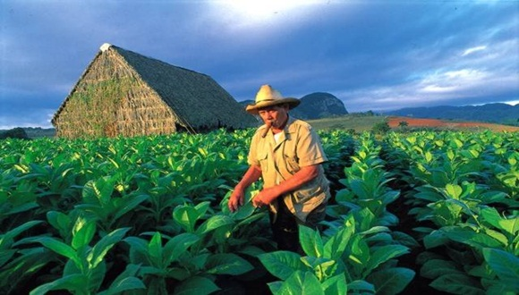 tabaco + cuba + cultivo