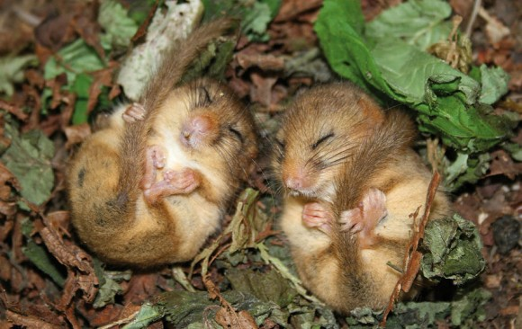 Ratón de campo (10)