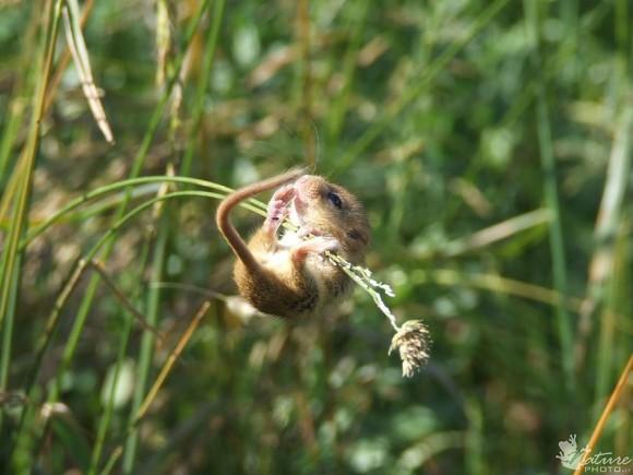 Ratón de campo (11)